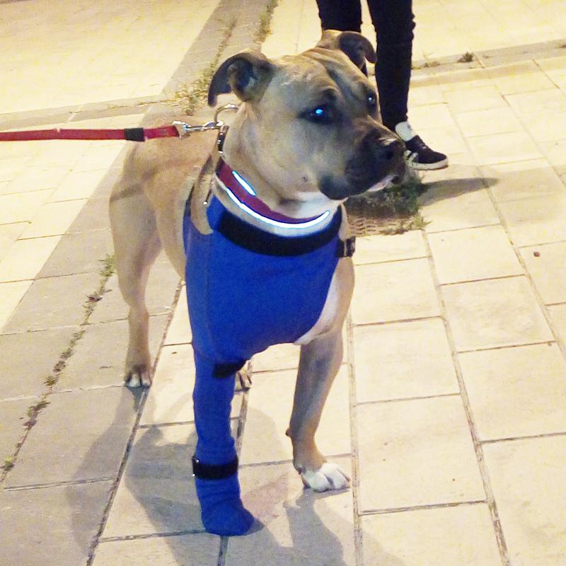 prenda protectora veterinaria ppv especial protegiendo un absceso en la pata delantera de perro pit bull prenda postquirúgica posoperatoria postoperatoria