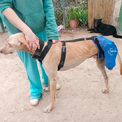 Prenda protectora veterinaria ppv antibacteriana especial protegiendo la pata trasera extirpada