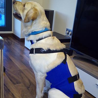Peto con coquilla prenda protectora veterinaria ppv antibacteriana protegiendo la cirugía de castración en perro
