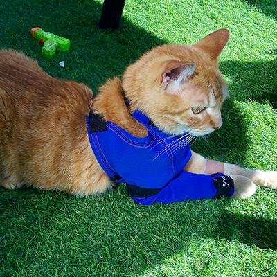 Gato usando la Prenda Protectora Veterinaria PPV antibacteriana de pata delantera para proteger una cánula intravenosa. La alternativa al collar isabelino.