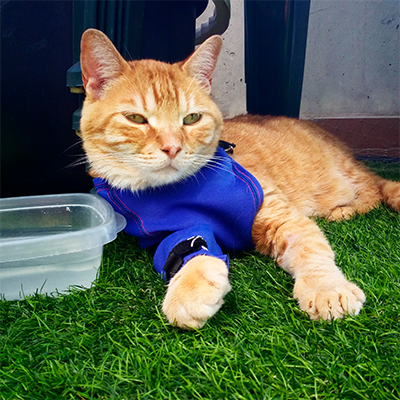 Gato con graves problemas de deshidratación usando la Prenda Protectora Veterinaria PPV antibacteriana de pata delantera para proteger una cánula intravenosa. La alternativa al collar isabelino.