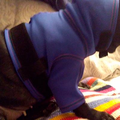 prenda protectora veterinaria ppv antibacteriana especial protegiendo las cirugías repartidas por cabeza y hombro tras extirpar oreja y múltiples tumores en perro prenda postquirúgica posoperatoria postoperatoria