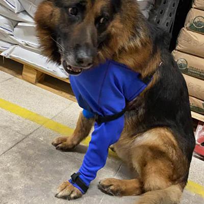 prenda protectora veterinaria ppv antibacteriana de pata delantera protegiendo absceso en el pecho y puntos de sutura tras una cirugía para la extracción de una espiga en perro. prenda postquirúgica posoperatoria postoperatoria